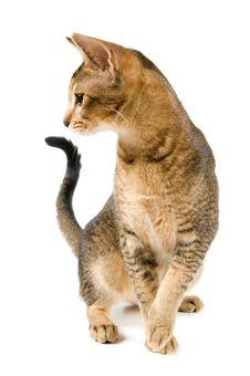 Free Kitten In Studio Royalty Free Stock Image - 3490426