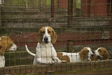 Free Blood Hound Dogs Stock Image - 3490791