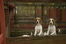 Free Blood Hound Dogs Royalty Free Stock Photography - 3490987