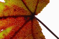 Free Leaf Close-up Stock Photography - 3491022