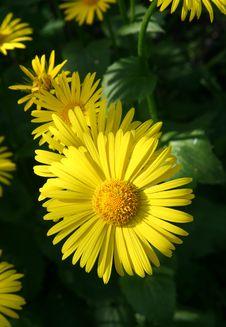 Free Yellow Flowers. Stock Photos - 3491213