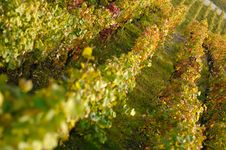 Free Vines Royalty Free Stock Image - 3491786