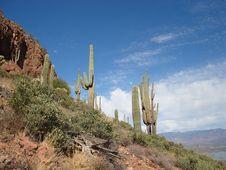 Free Saguaros Stock Images - 3492294