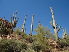 Free Saguaros Royalty Free Stock Photos - 3492308