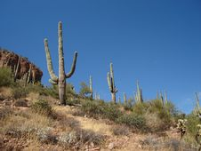 Free Saguaros Royalty Free Stock Image - 3492426