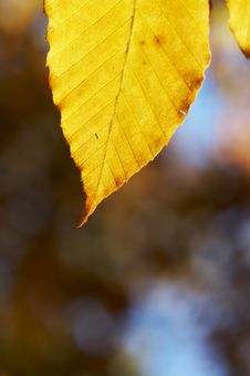 Free Yellow Leaf Royalty Free Stock Images - 3492779