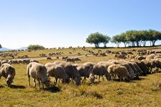 Free Browser Sheep Stock Image - 3493741
