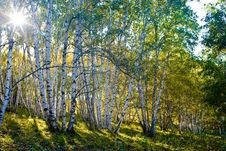 Free Birch Stock Images - 3493754