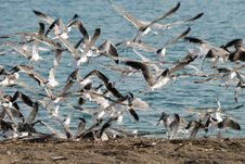 Free Seagulls Royalty Free Stock Photos - 3495248