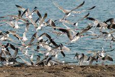 Free Seagulls Royalty Free Stock Photos - 3495248
