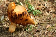 Free Giant Mushroom Royalty Free Stock Photo - 3496685