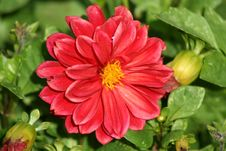 Free Red Gerber Daisy Stock Photography - 3496772