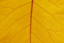 Free Leaf Veins Stock Photography - 3496782