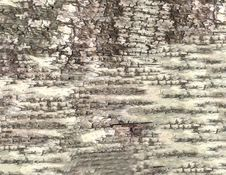 HQ Bark Of Birch Texture Royalty Free Stock Image
