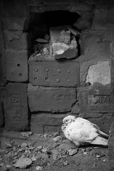 Free White Dove Stock Image - 3497751