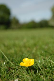 Buttercup In Field Stock Photos