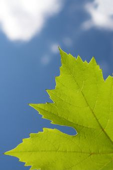 Free Grape Leaf Stock Image - 3497871