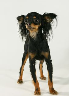 Free A Pedigree Dog Stock Photography - 3498152