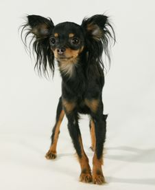 Free A Pedigree Dog Royalty Free Stock Photo - 3498245