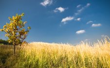Free Yellow Oak Tree In A Field -1 Stock Image - 3498331