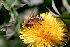 Honeybee On Dandelion Royalty Free Stock Images