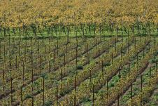 Free Autumnal Vineyard Geometry Royalty Free Stock Photo - 3499735