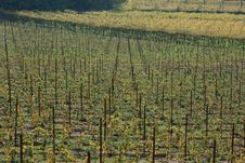 Free Autumnal Vineyard Geometry 2 Royalty Free Stock Photos - 3499808