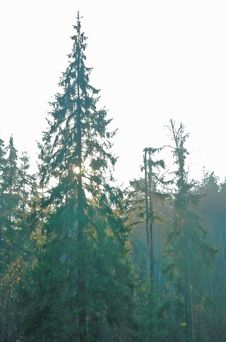 Free Fir In The Forest. Royalty Free Stock Photo - 3499825