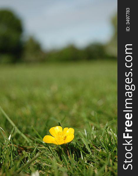 Buttercup in Field