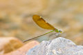 Free Damselfly Resting On Stone Royalty Free Stock Photo - 34901465