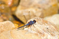 Free Dragonfly Resting On Stone Royalty Free Stock Image - 34901736