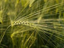 Free Immature Wheat Spike Stock Image - 34900031