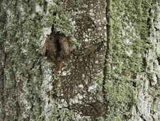 Poplar Trunk Covered With Lichen Royalty Free Stock Photography