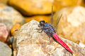 Free Dragonfly Resting On Stone Royalty Free Stock Image - 34911286