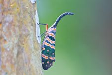 Free Lanternflies Insect Stock Photos - 34913693