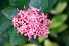 Pink Ixoras Flower Royalty Free Stock Photo
