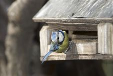 Free Hello - Tit On Birdhouse Royalty Free Stock Photos - 34914568