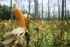 Free Corn Plant In The Jungle Royalty Free Stock Photography - 34916527
