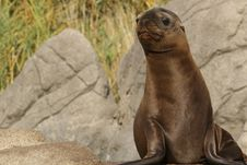 Free Cute Seal Pup Stock Photos - 34918443