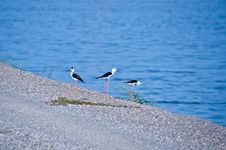 Free Black-winged Stilt Stock Photo - 34921680