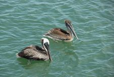 Free Pelicans Royalty Free Stock Image - 34922786