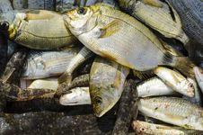 Fresh Caught Fish Stock Image