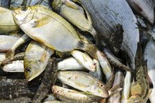 Fresh Caught Fish Royalty Free Stock Images