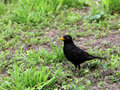 Free Blackbird Stock Images - 34932914
