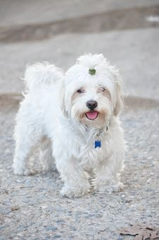 Free Bichon Dog Stock Images - 34930494