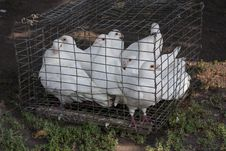 Free Dove White Pigeons Royalty Free Stock Photography - 34939937