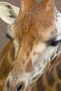 Free Head Of Giraffe. Royalty Free Stock Photography - 34944377