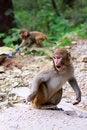 Free Indian Monkey.Agra Royalty Free Stock Photos - 34944968