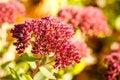 Free Autumn Flower Royalty Free Stock Photo - 34946495