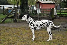 Free Dalmation Stock Images - 34947414